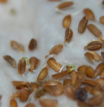 ミニニンジン栽培