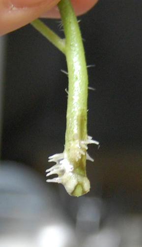 ミニトマト メネデール