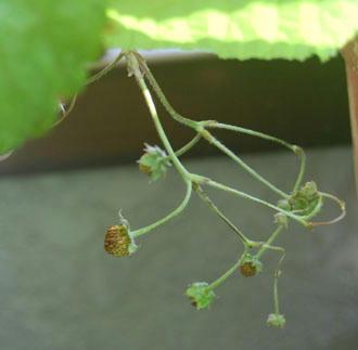 ワイルドストロベリー栽培