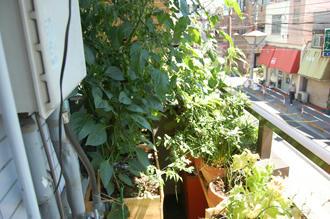 シシトウ ベランダ菜園