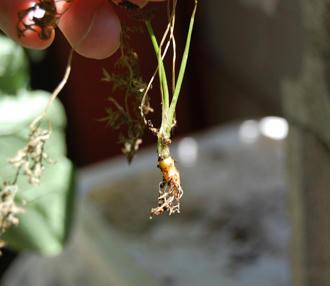 ミニニンジン ベランダ菜園