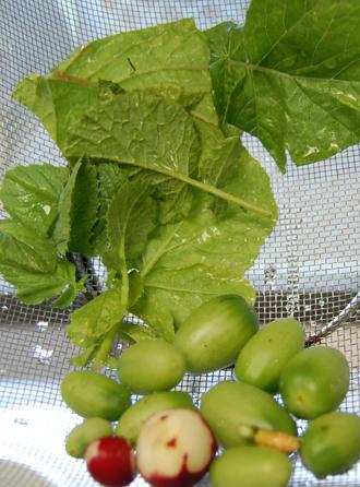 ミニトマト アイコ 栽培