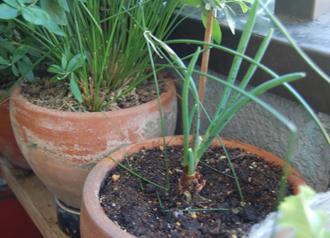 タマネギ ベランダ菜園