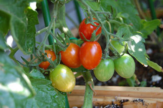 ミニトマト アイコ ベランダ菜園