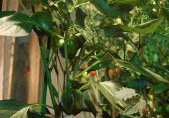 カラーピーマン ベランダ菜園