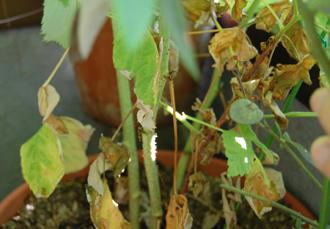 ベランダ菜園 ラズベリー