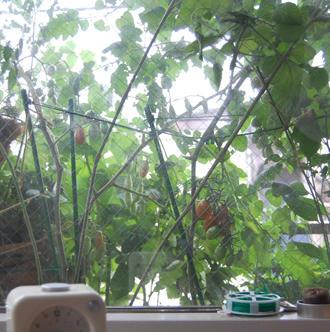 ベランダ菜園 ミニトマト アイコ