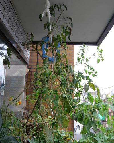 ベランダ菜園 ミニトマト