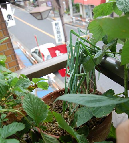 ベランダ菜園 ネギ