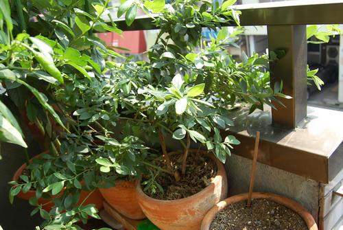 ベランダ菜園 ブルーベリー