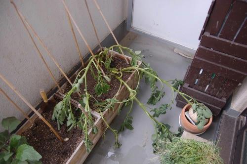 チャッピー ベランダ菜園