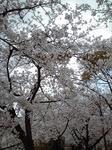 都賀川沿いの桜並木