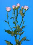 ブライダルスプレー(スプレー薔薇) 愛知産 1本60円