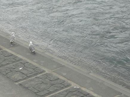 甲子川とカモメ