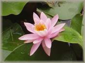 沼地に見事なこころを咲かせて