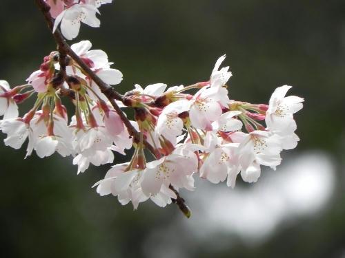 sakuras.JPG