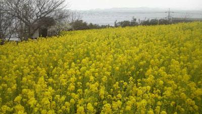菜の花と瀬戸内海