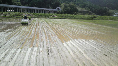 雪解け米の田植え風景