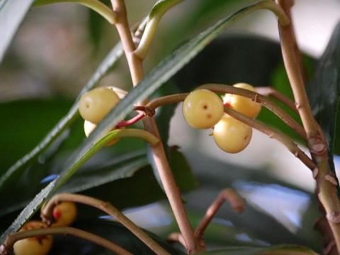 白実の唐橘(シロミノカラタチバナ)