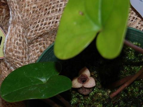 尖閣寒葵(センカクカンアオイ)