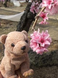 梅の花とテディベア