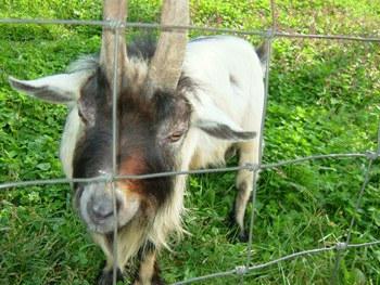 9月30日アーク牧場お父さんヤギ
