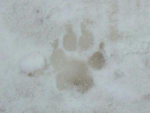 2月3日小岩井雪祭り♪ドリちゃんの足跡