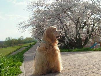 4月27日桜スカスカだね③