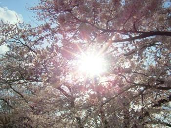 4月27日桜。。。