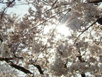 4月27日桜・・・