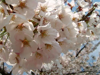4月28日桜~♪