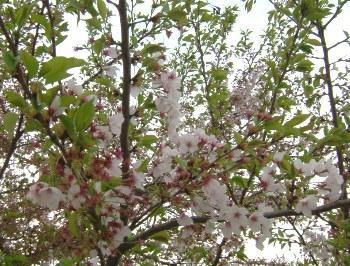 5月3日葉桜。。。