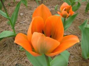5月5日チューリップ園①オレンジ