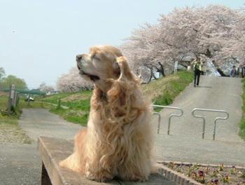 桜。。。5