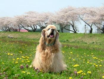 桜。。。6