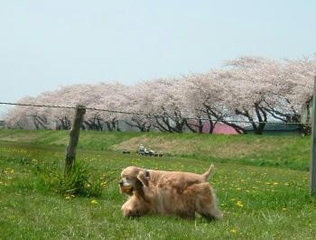 桜。。。7