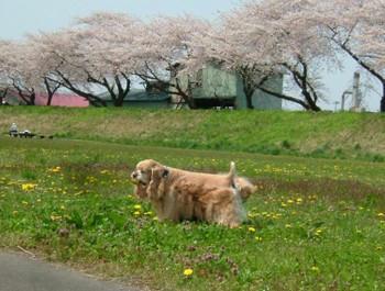 桜。。。8