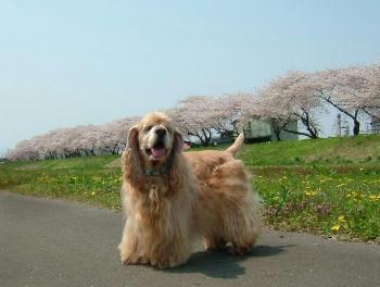 桜。。。9