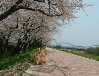 桜。。。10