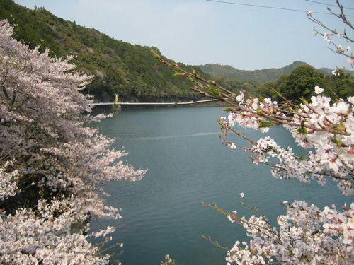 もみじ川温泉の桜