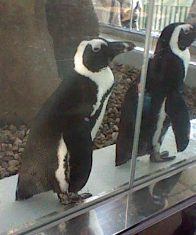 アップでペンギン