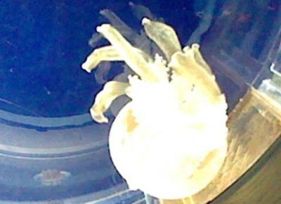 タコクラゲの写真