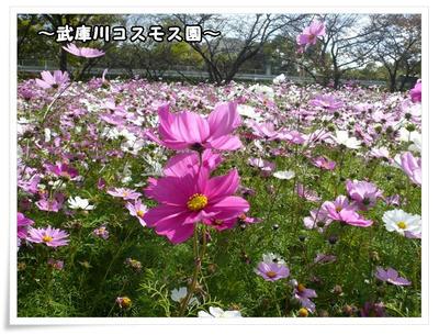 武庫川コスモス園