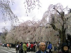 角館武家屋敷の桜