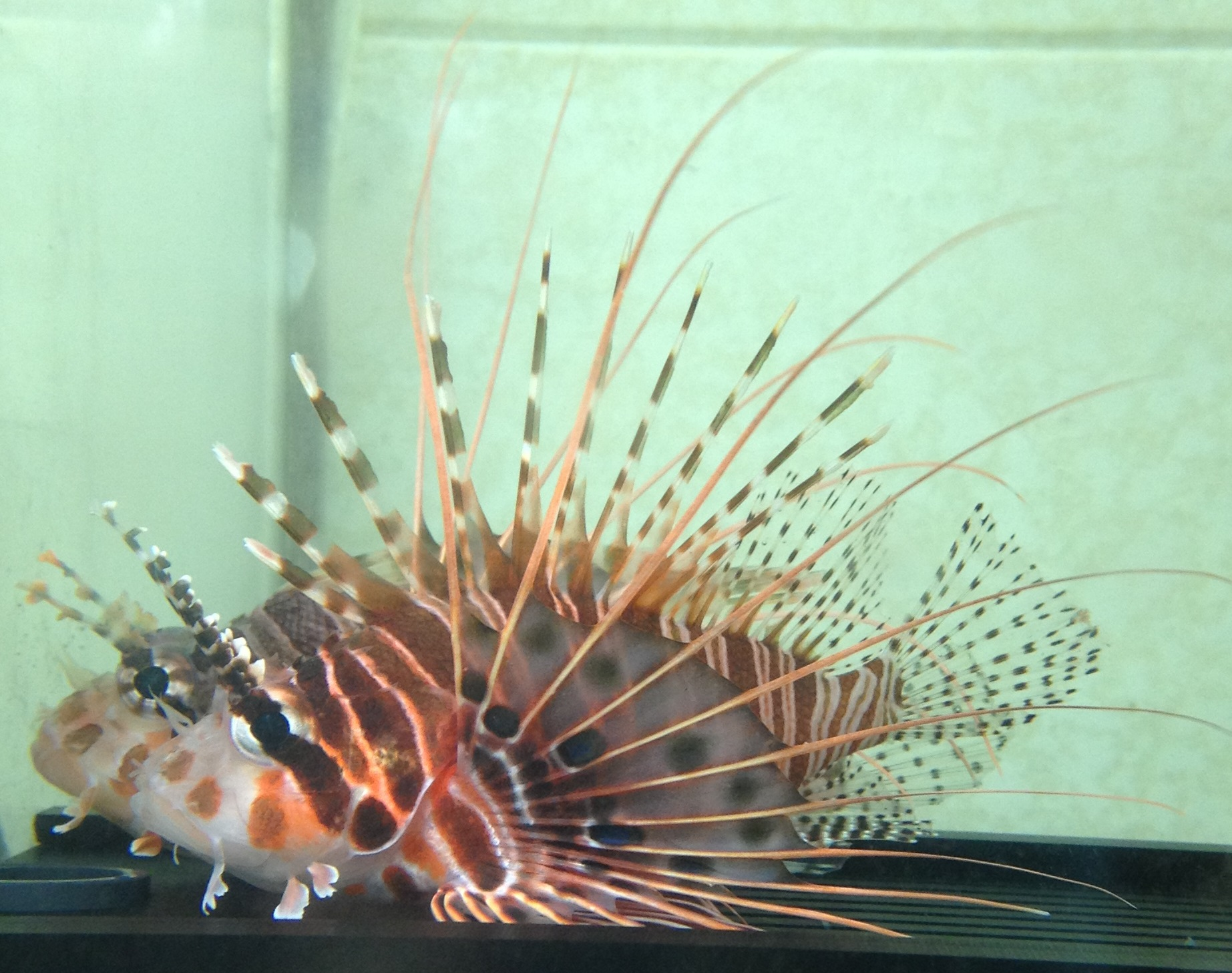 ミノカサゴ類の飼育 海水魚飼育...