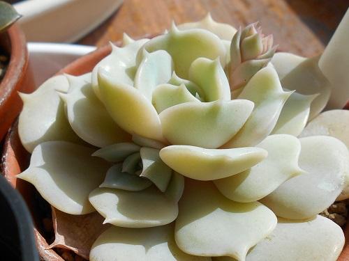デレッセーナの花芽ってこんな感じ。