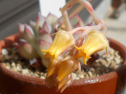 プリドニスの花