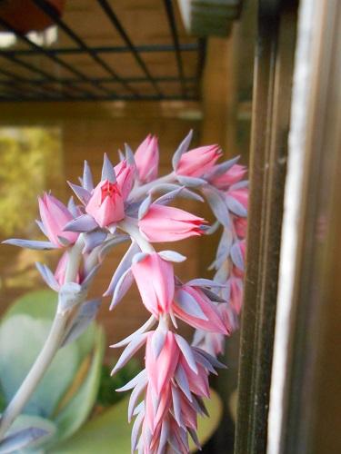 ネオンブレーカーズの花