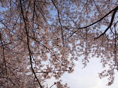 日本さくら名所百選 斐伊川堤防の桜5