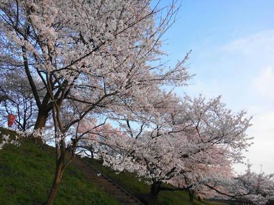 奥出雲の桜並木2